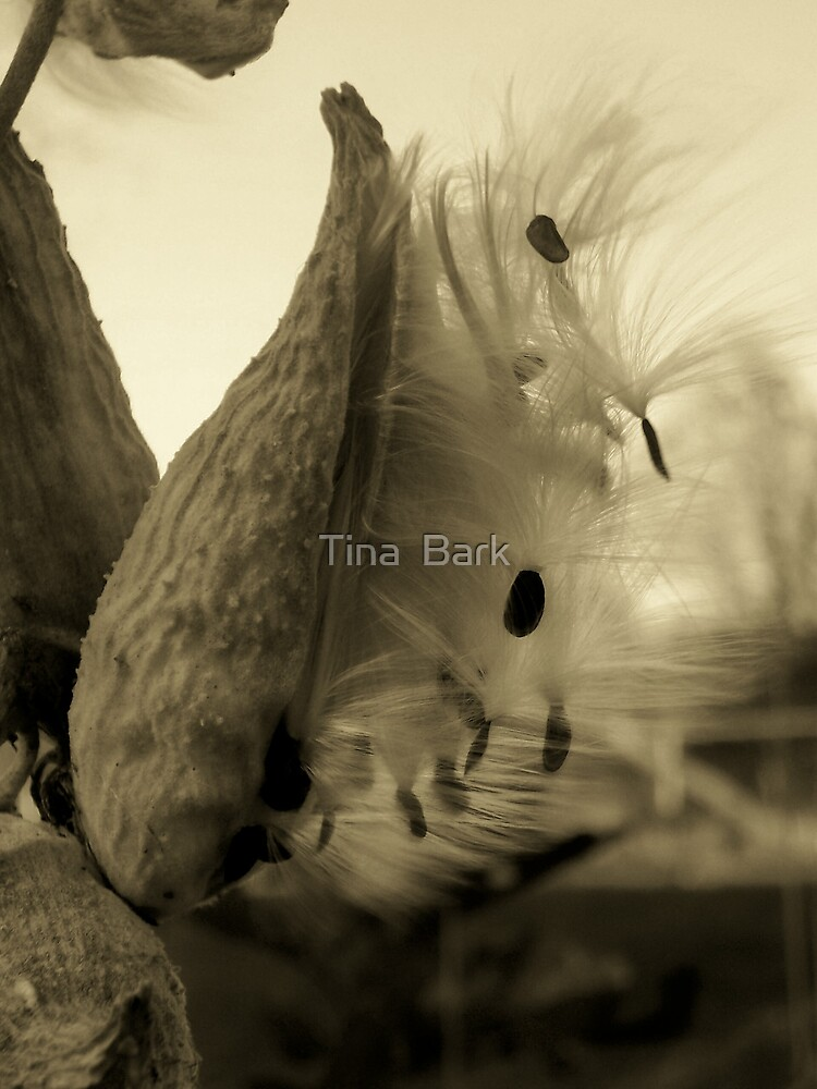 Milk Weed by Tina  Bark