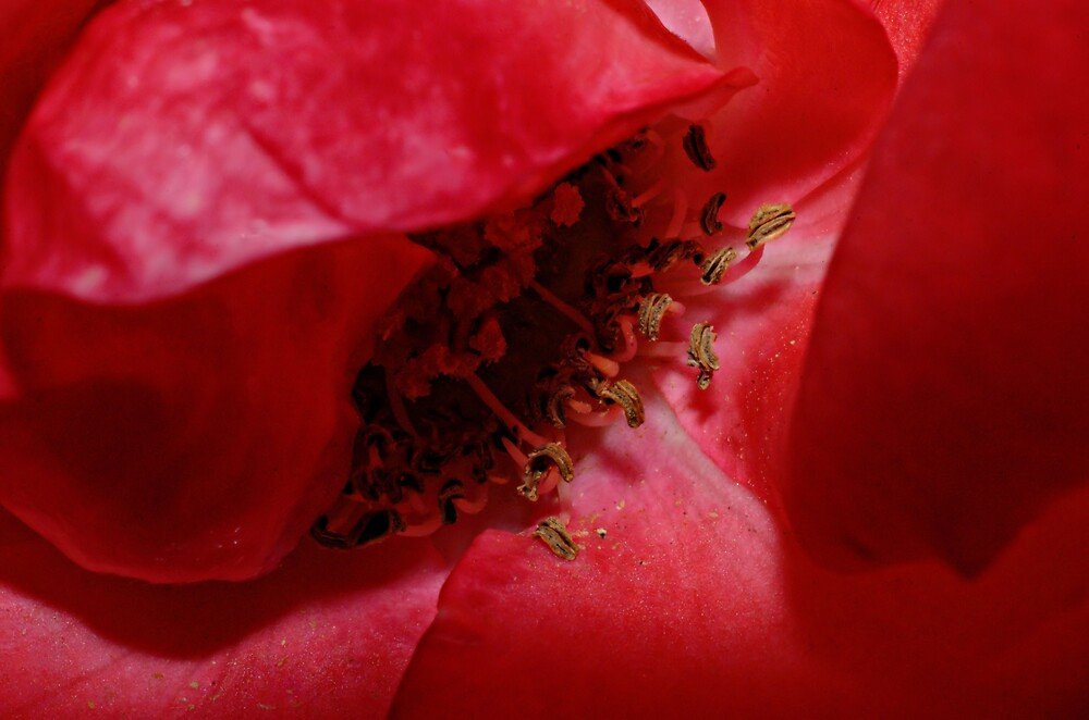 Old Rose by David  Hall