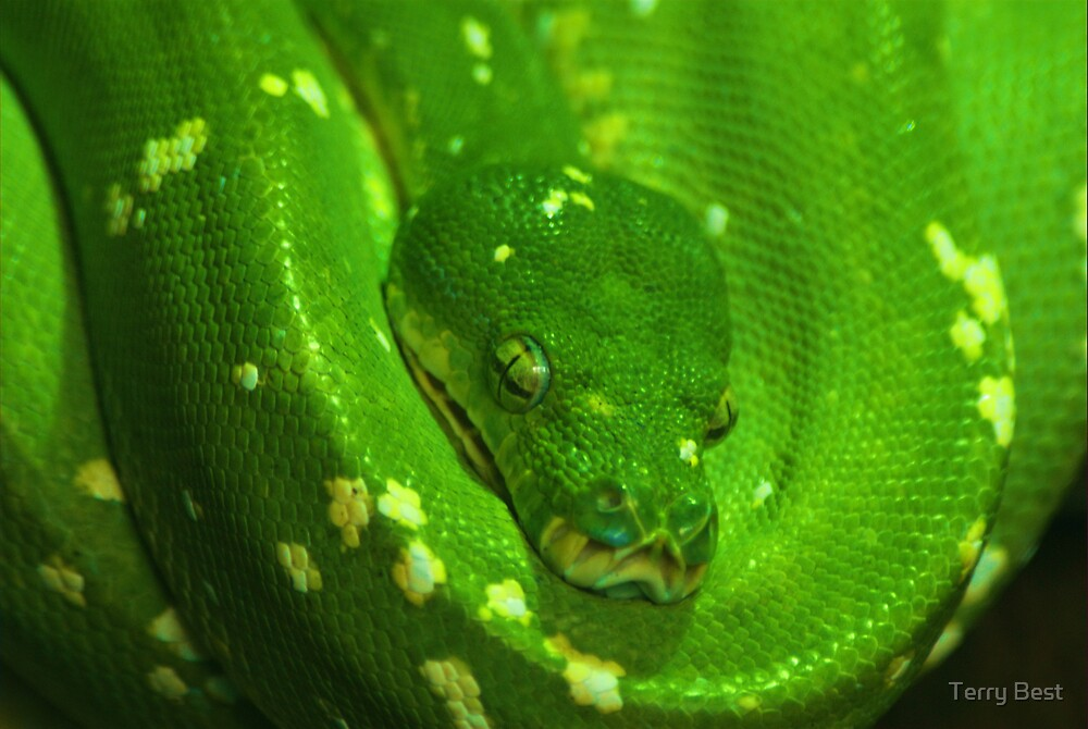 Green Tree Python by Terry Best