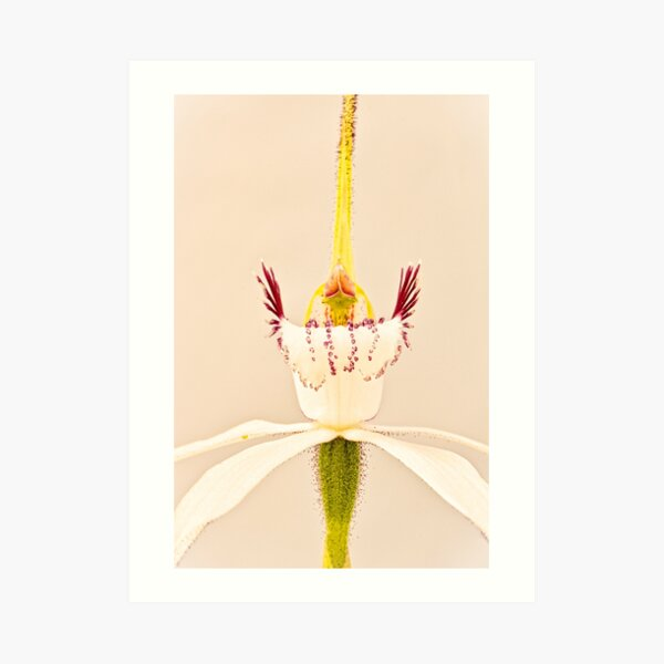 White Spider Orchid Art Print