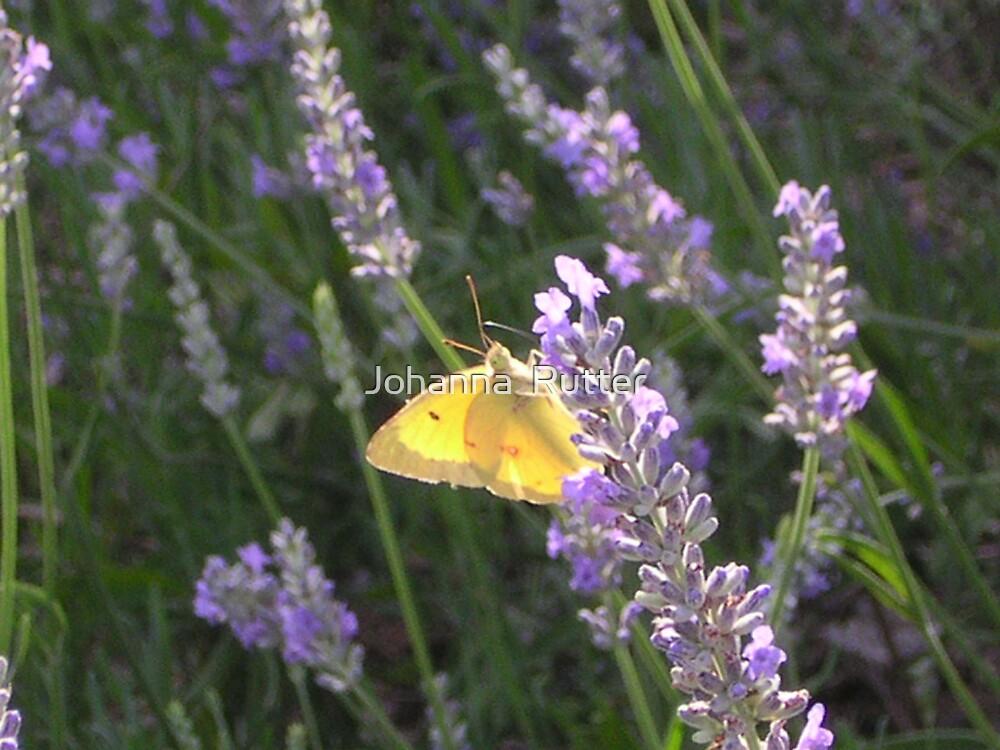Butterfly by Johanna  Rutter