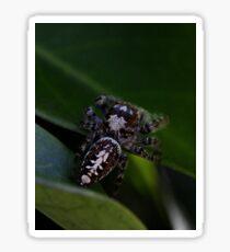Garden Jumping Spider Sticker