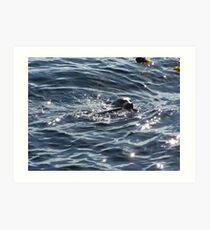 Seal with Salmon Art Print