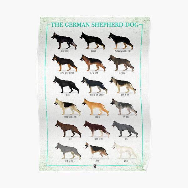 German Shepherd: Coat Colors Poster