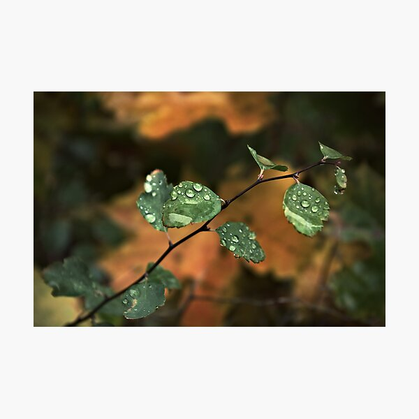 Drops & Leaves Photographic Print