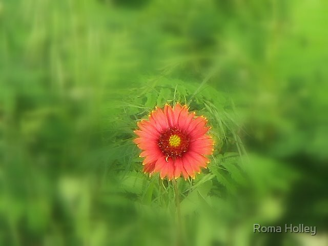 Indian Blanket flower by Roma Holley