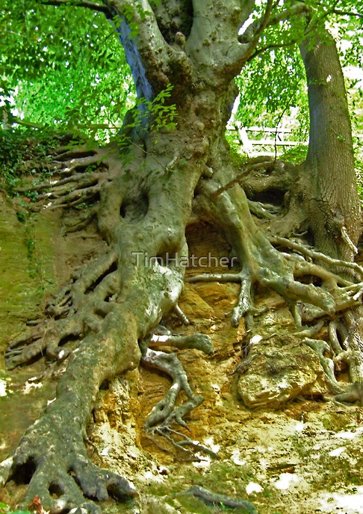 Glastonbury Roots by TimHatcher