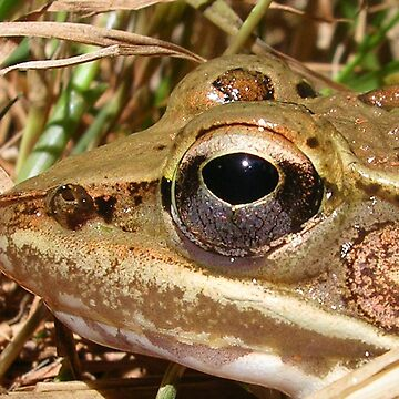 Toad Up Close by jillspring