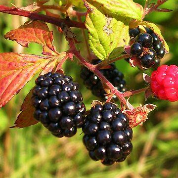 Blackberry Summer by jillspring
