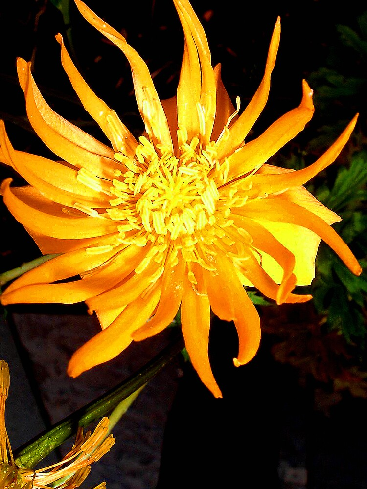 Sunburst by Puffling