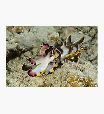 Flamboyant cuttlefish - Metasepia pfefferi Photographic Print