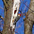 Red Bellied Woodpecker by Debbie Oppermann