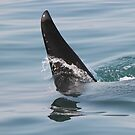 Killer whale dorsal fin up close! by Anthony Goldman