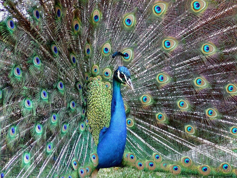 Peacock two by punch