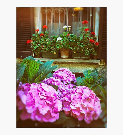 Hydrangea and geraniums Photographic Print