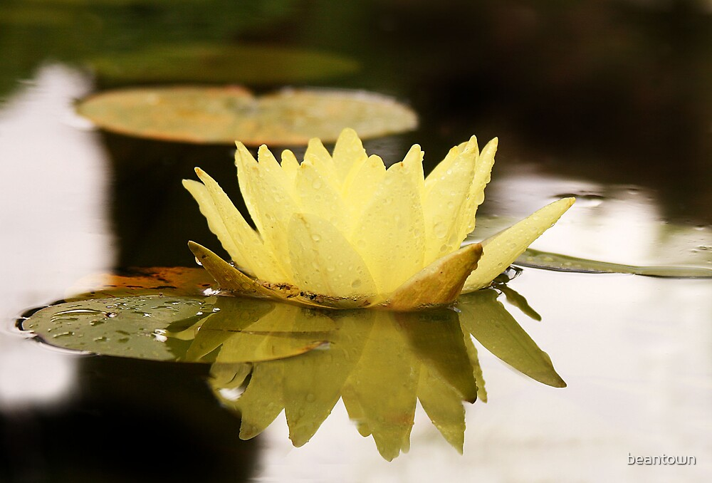 Water Lilly by beantown