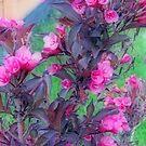 Burgundy Colored Weigela  Bush by kkphoto1