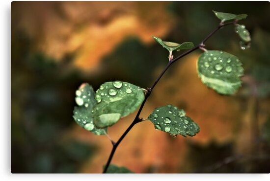 Drops on leaves by Ion Rosca