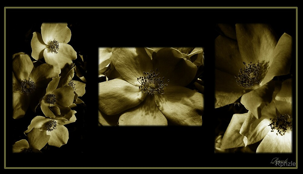 Wild White Roses in Sepia by Rpnzle