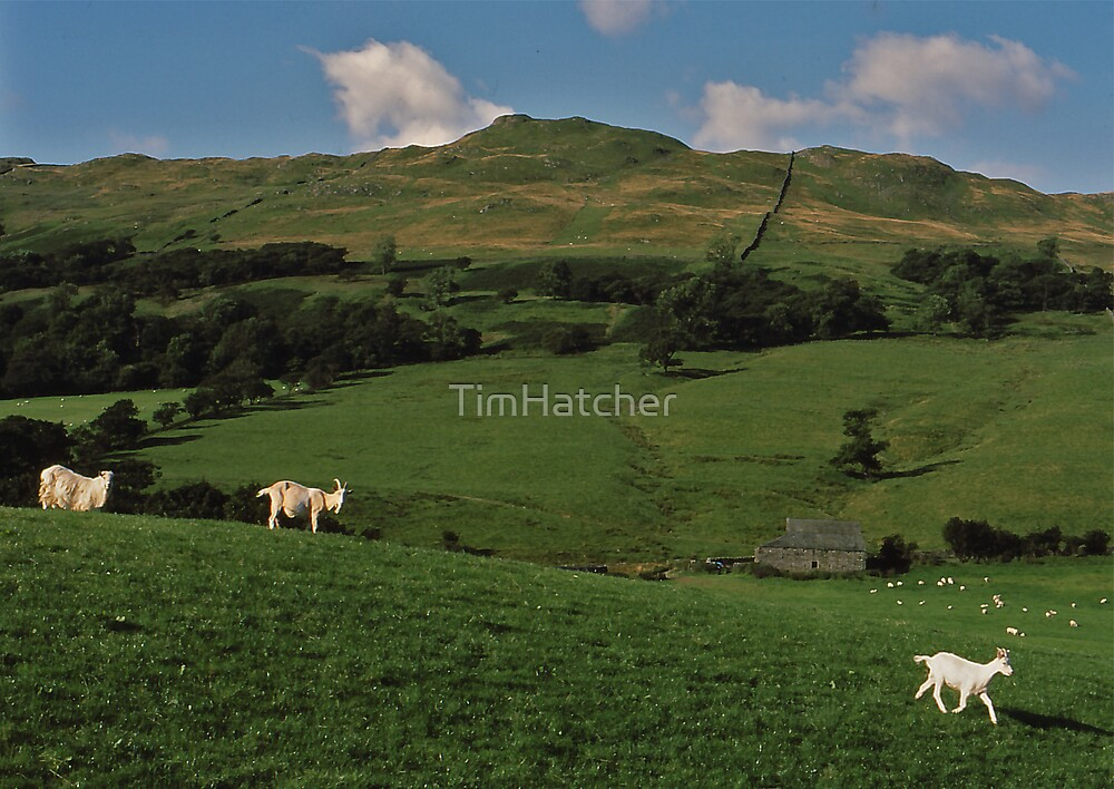 Lakeland Goats by TimHatcher