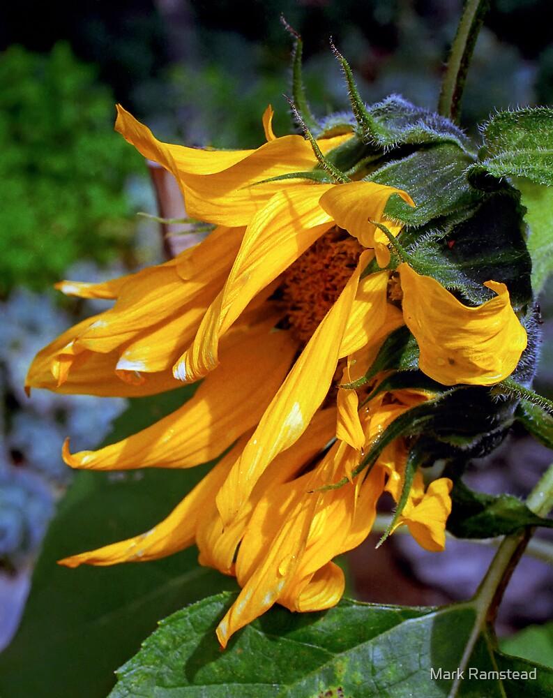 Sun Flower Set by Mark Ramstead