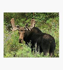 East Canyon Moose Photographic Print