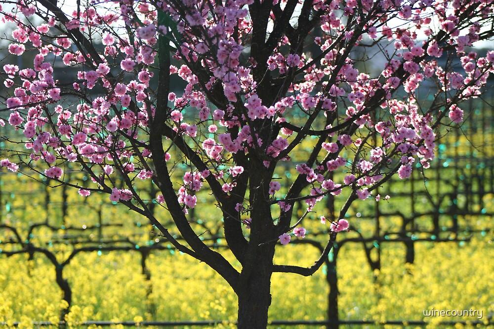 Blossom by winecountry