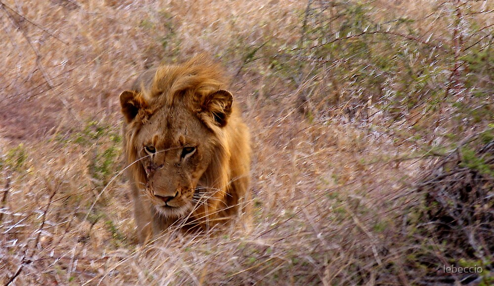 Beaten Lion by lebeccio