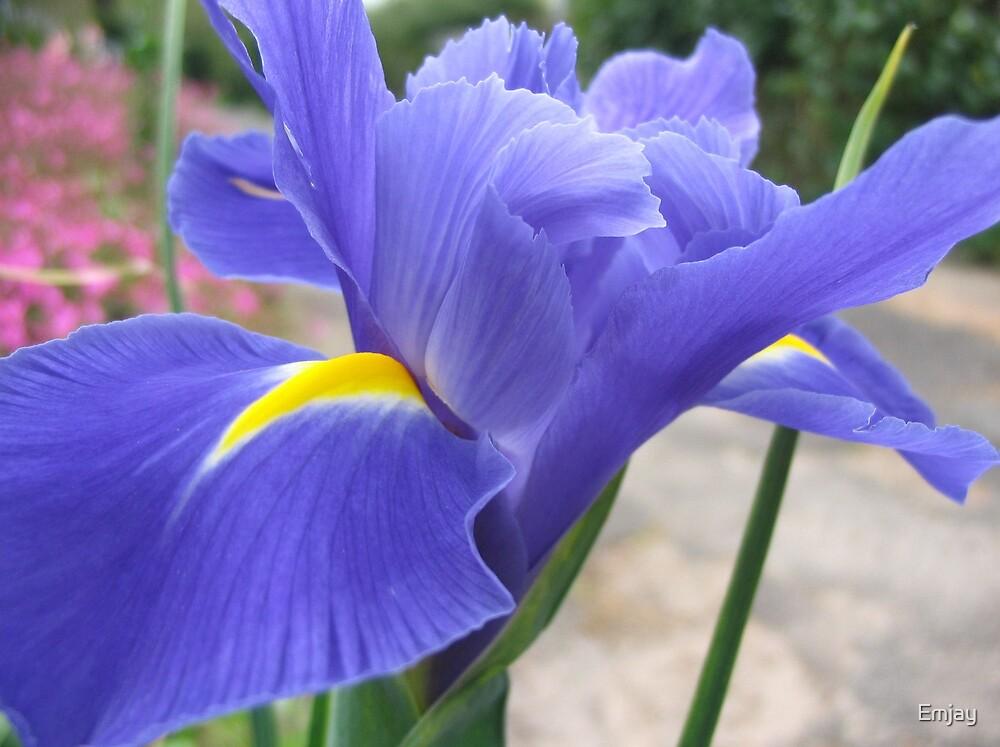 Purple Iris by Emjay