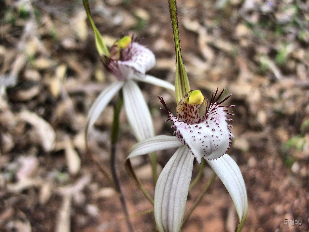 Kendenup Spider Orchids  by Emjay