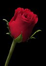 Red Rose by Dave Lloyd