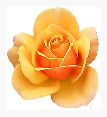 Yellow Rose Flower in Black Background Photographic Print