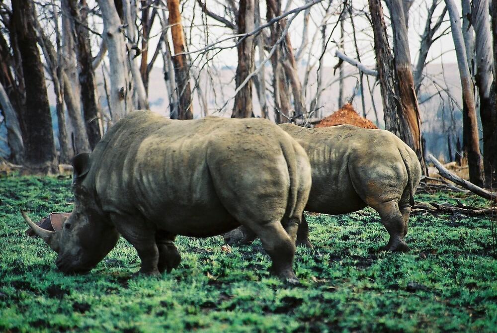 Pair of White Rhino grazing by Louw Agenbag