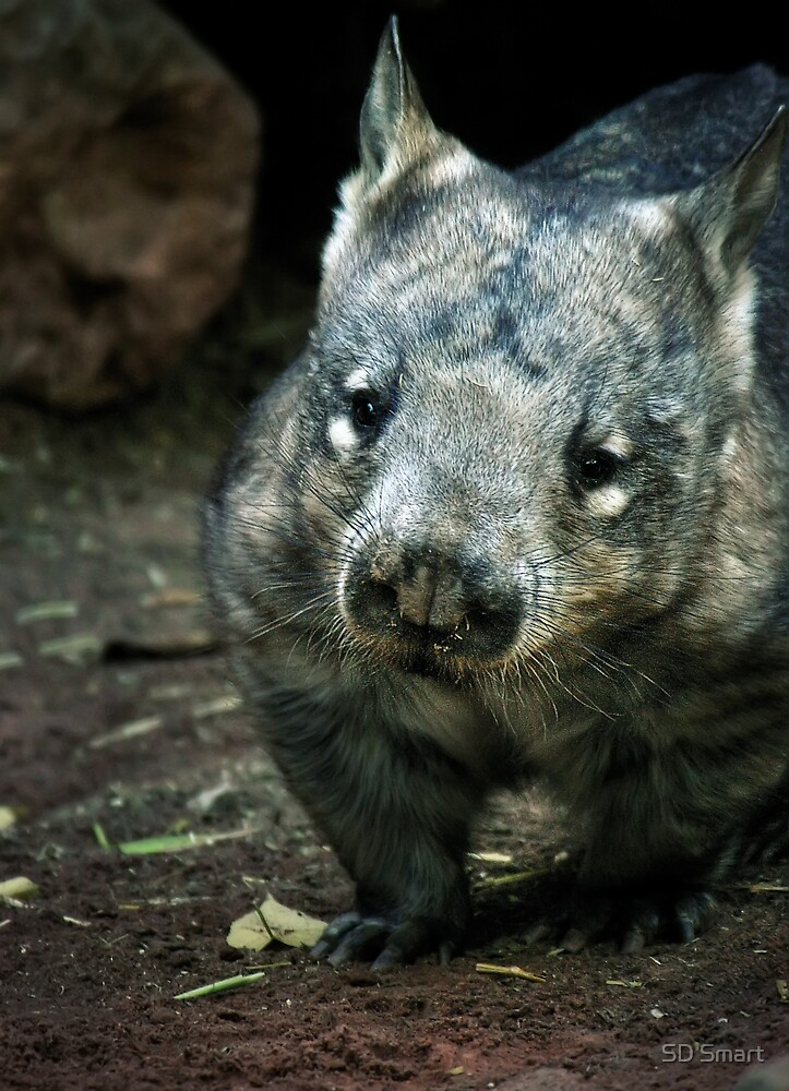 Hairy Nose Wombat by SD Smart