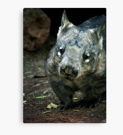 Hairy Nose Wombat Canvas Print