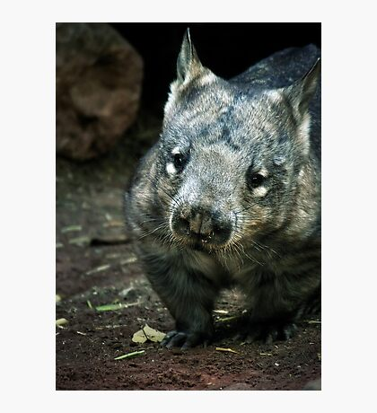 Hairy Nose Wombat Photographic Print