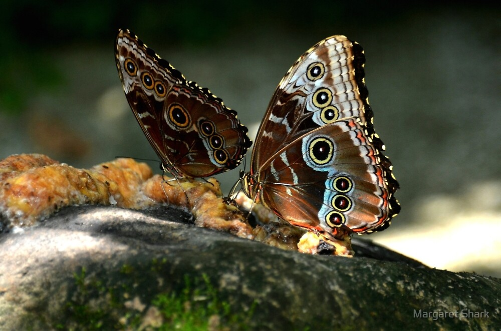 Blue Morphos in Costa Rica by Margaret Shark