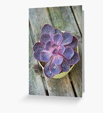 Succulent - Purple Echeveria  Greeting Card
