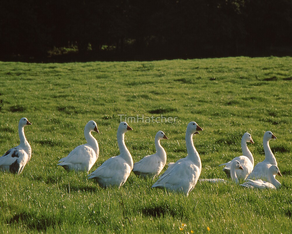 Evening Geese by TimHatcher