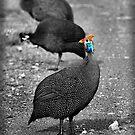 The ubiquitous guinea fowl. by Sharon Bishop
