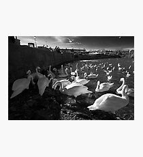 Cluster of Swans at the Claddagh in Galway Photographic Print