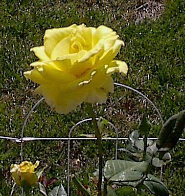 yellow rose by blakwida
