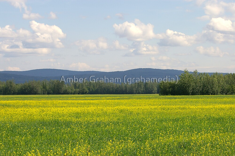 Field of Gold by Amber Graham (grahamedia)