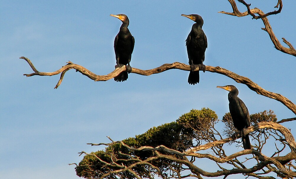 Three Cormorans by colm