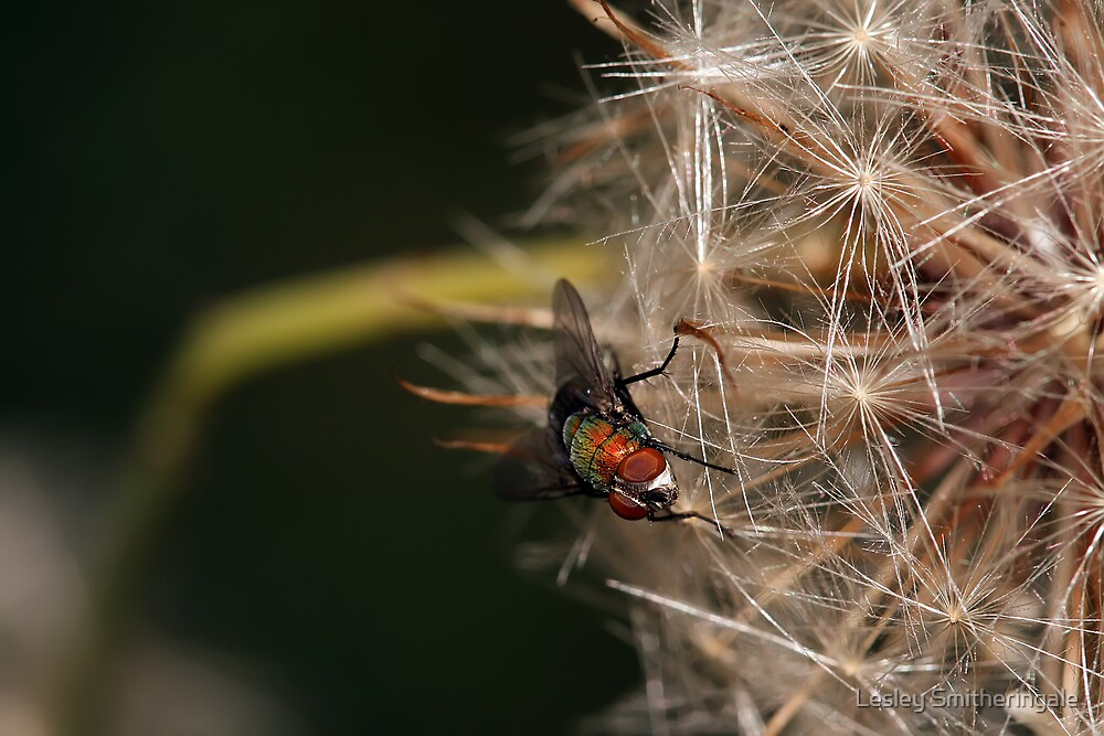 Fly on Dandelion Seed VII by Lesley Smitheringale