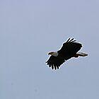Bald Eagle II by Laura Puglia