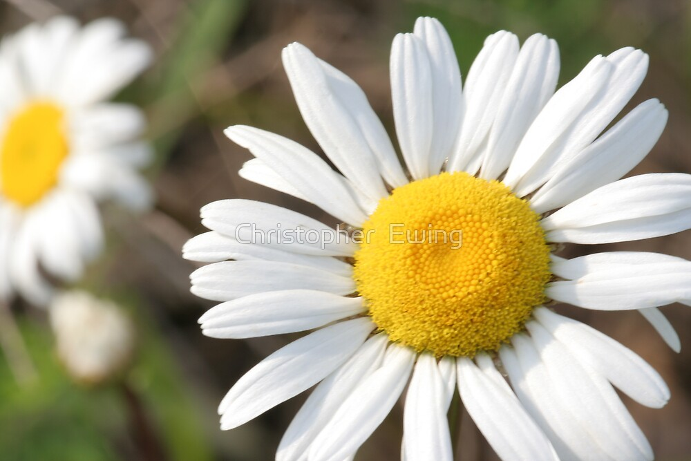 macro daisy by Christopher  Ewing