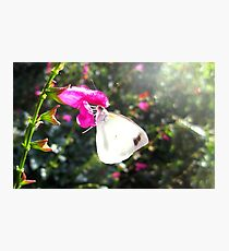 Pearl White Butterfly on pink flower Photographic Print