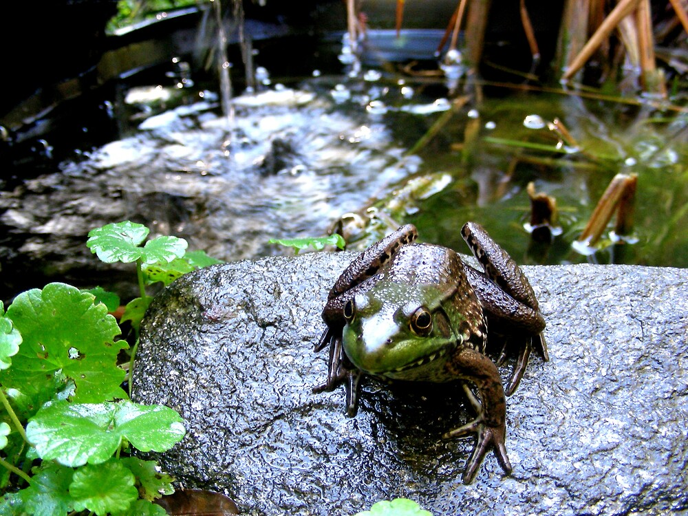 Frog and pond by Toaster