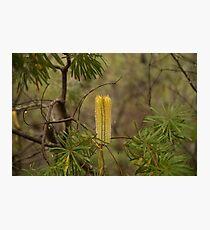Australian Flower - Bottle Brush  Photographic Print